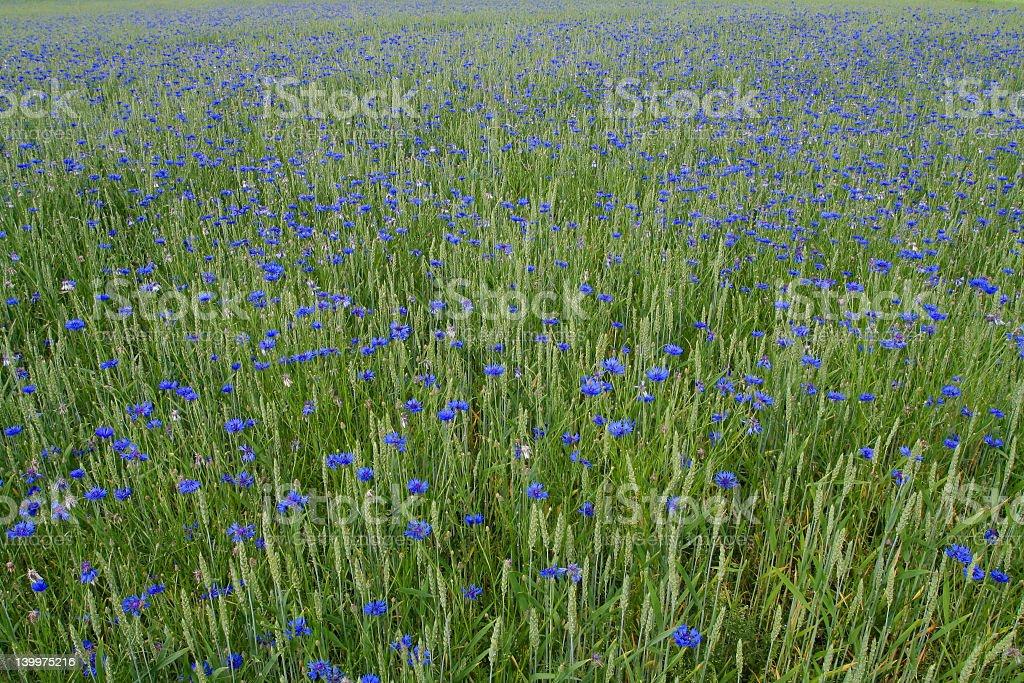 Blue cornflowers royalty-free stock photo