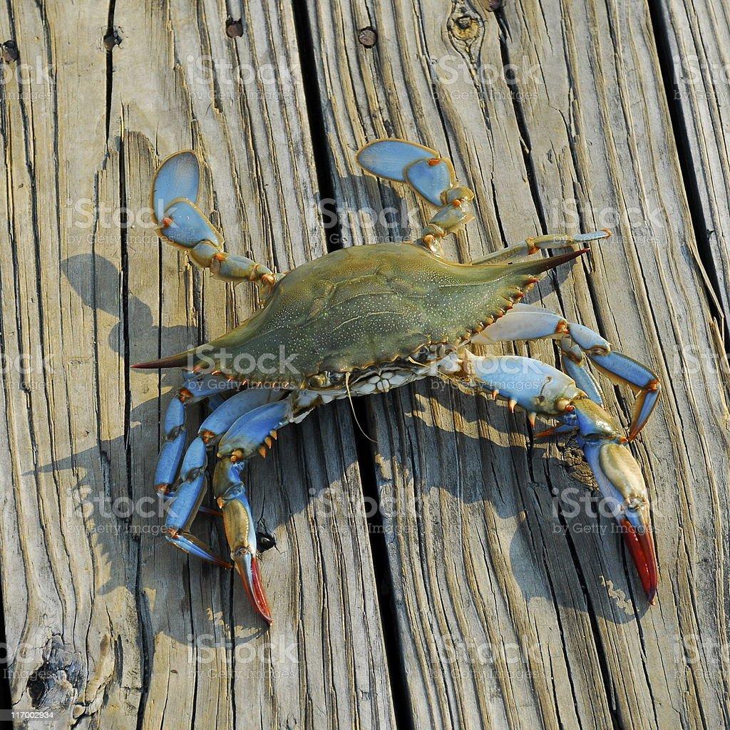 Blue Crab royalty-free stock photo