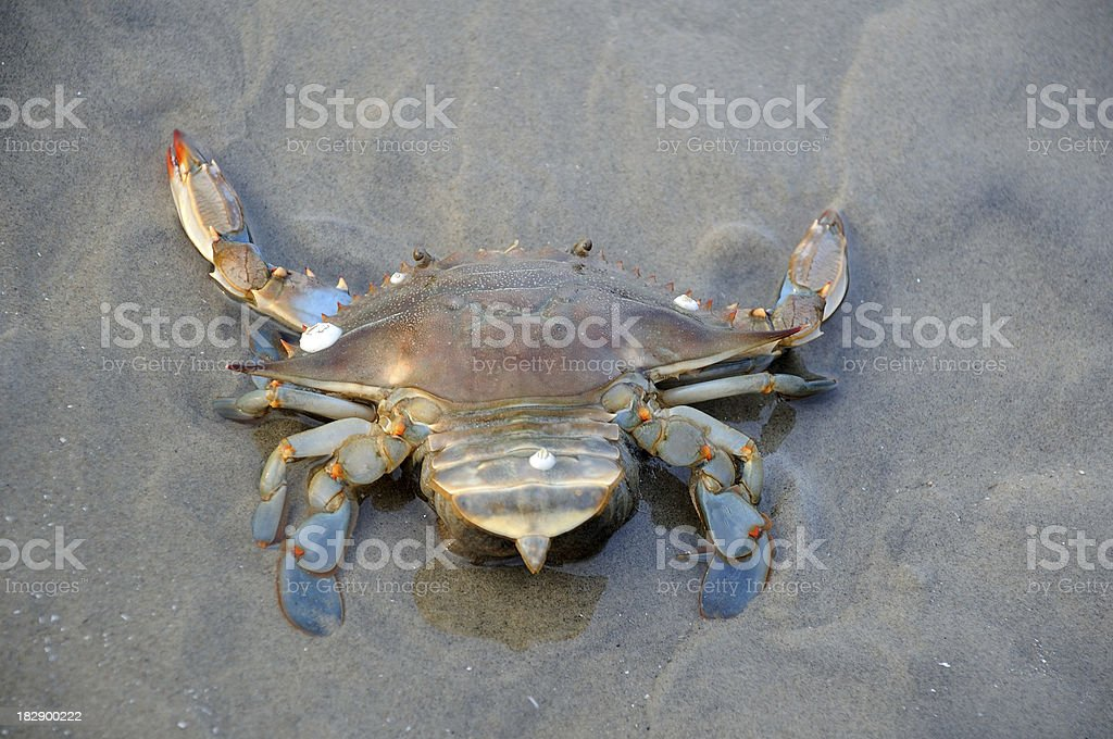 Blue Crab with Barnacles stock photo