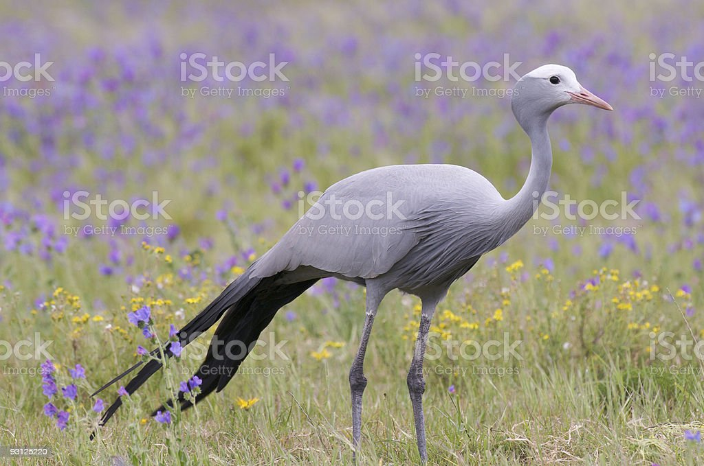 Blue Crane Bird stock photo