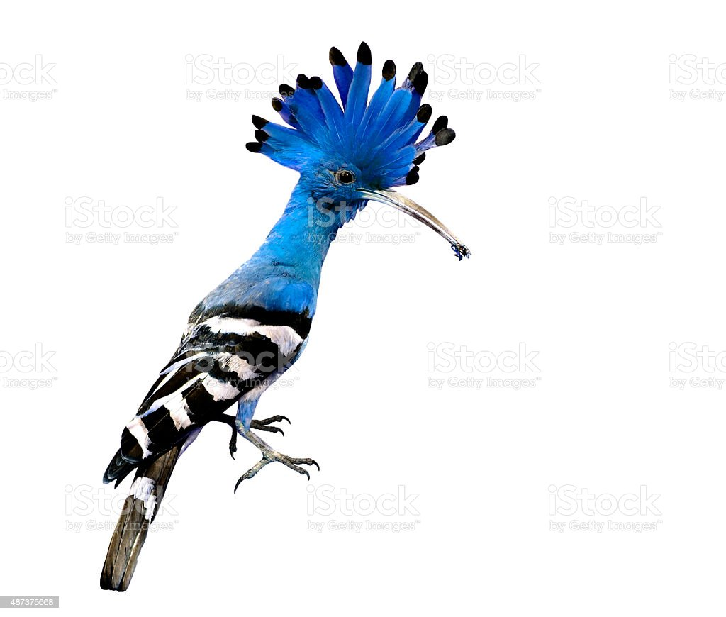 Blue crested and spiky hair bird isolated on white backgr stock photo