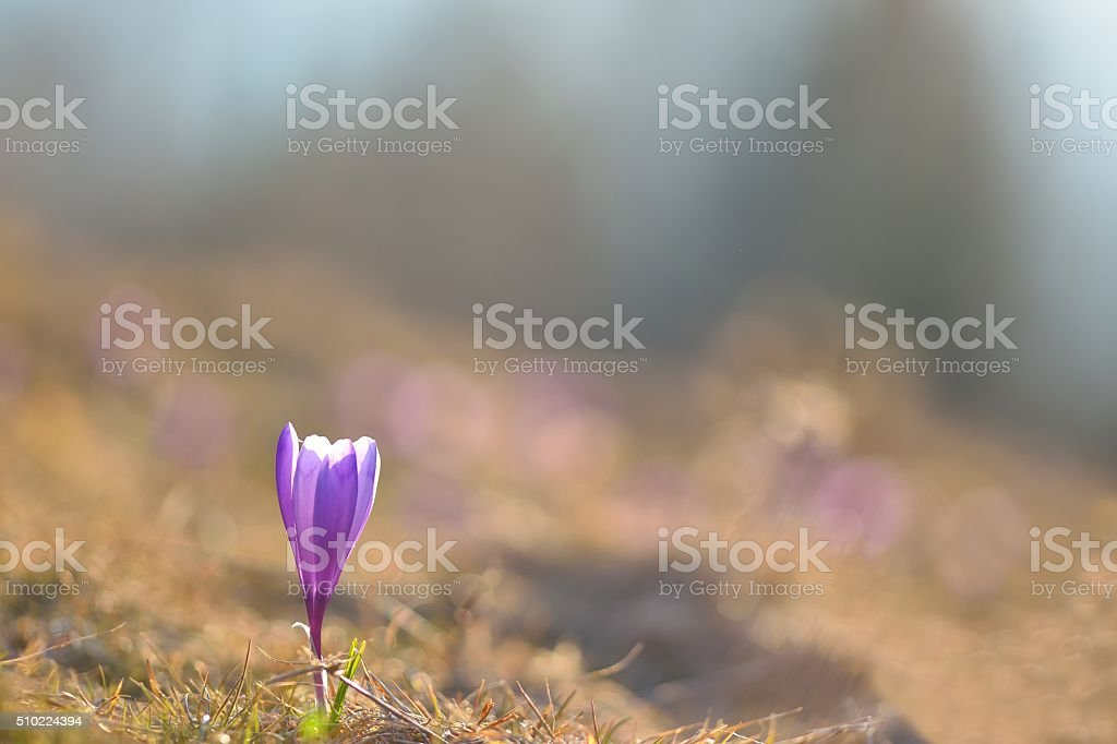 Blue crocus stock photo