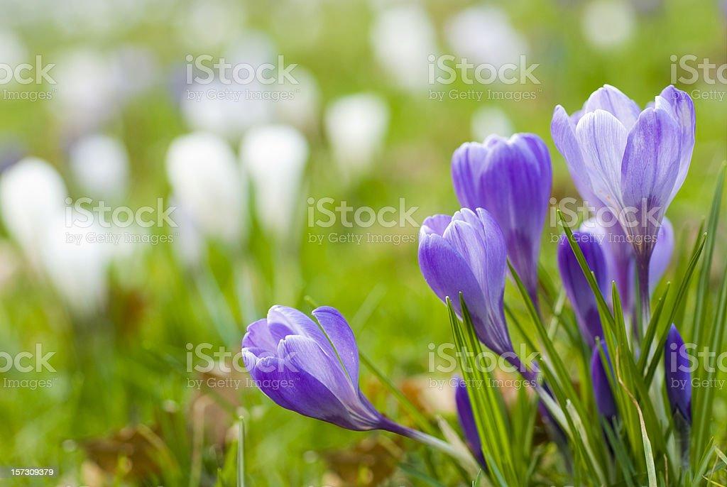 Blue crocuses in Spring stock photo
