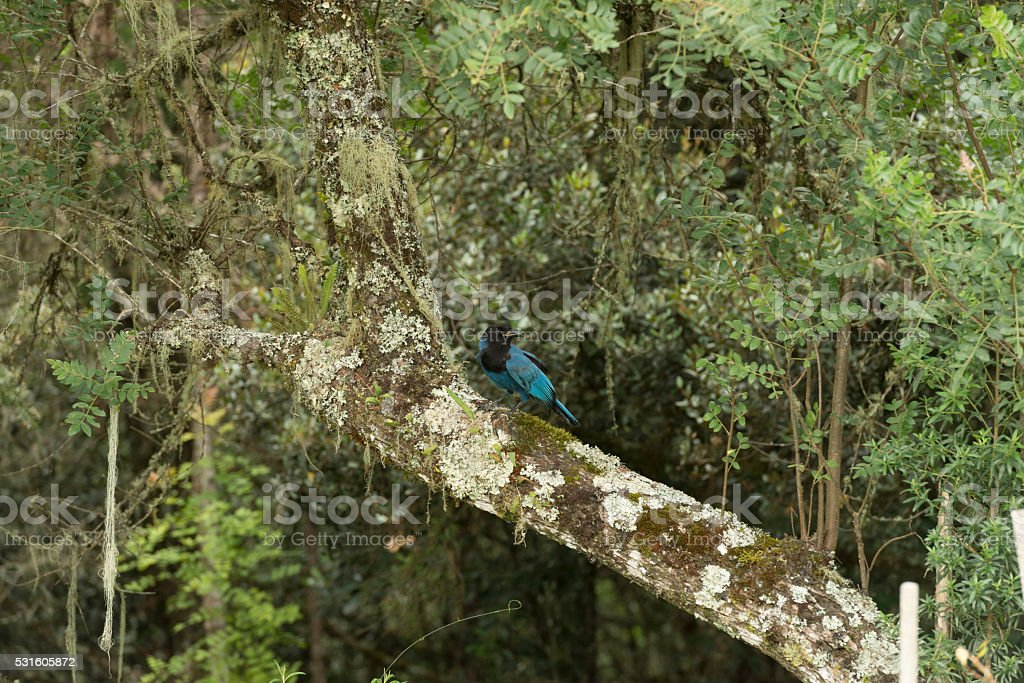 Gralha-azul - Brazil stock photo