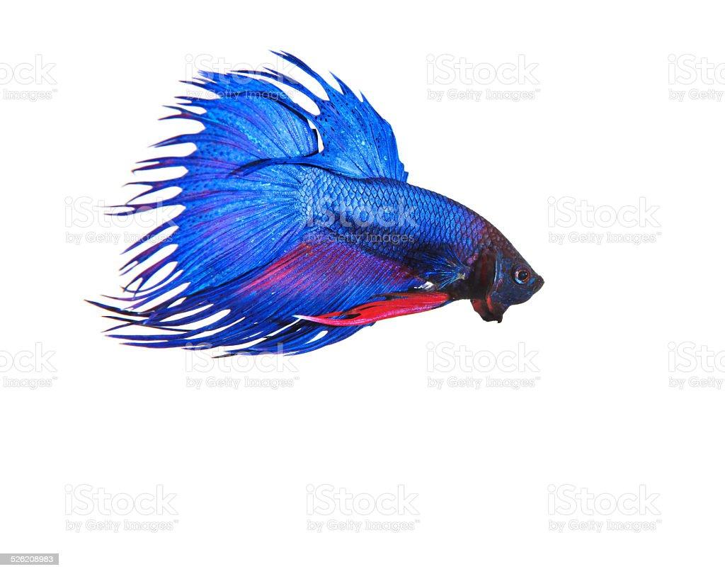 blue crown tail thai fighing fish betta stock photo