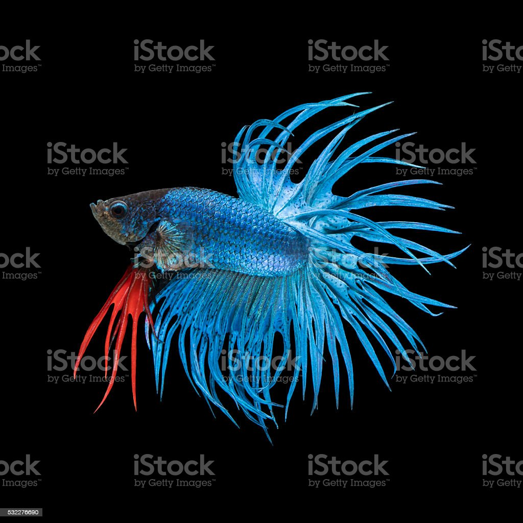 Blue Crowntail betta fish stock photo