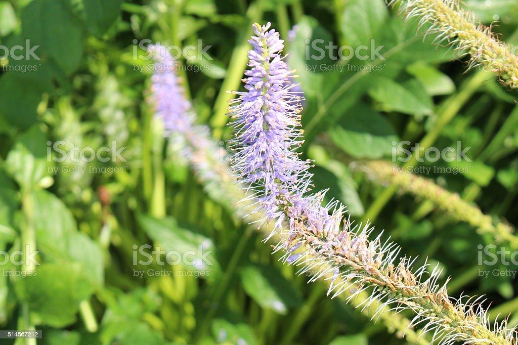 Blue 'Culver's Root' flower - Veronicastrum Virginicum Rosea stock photo