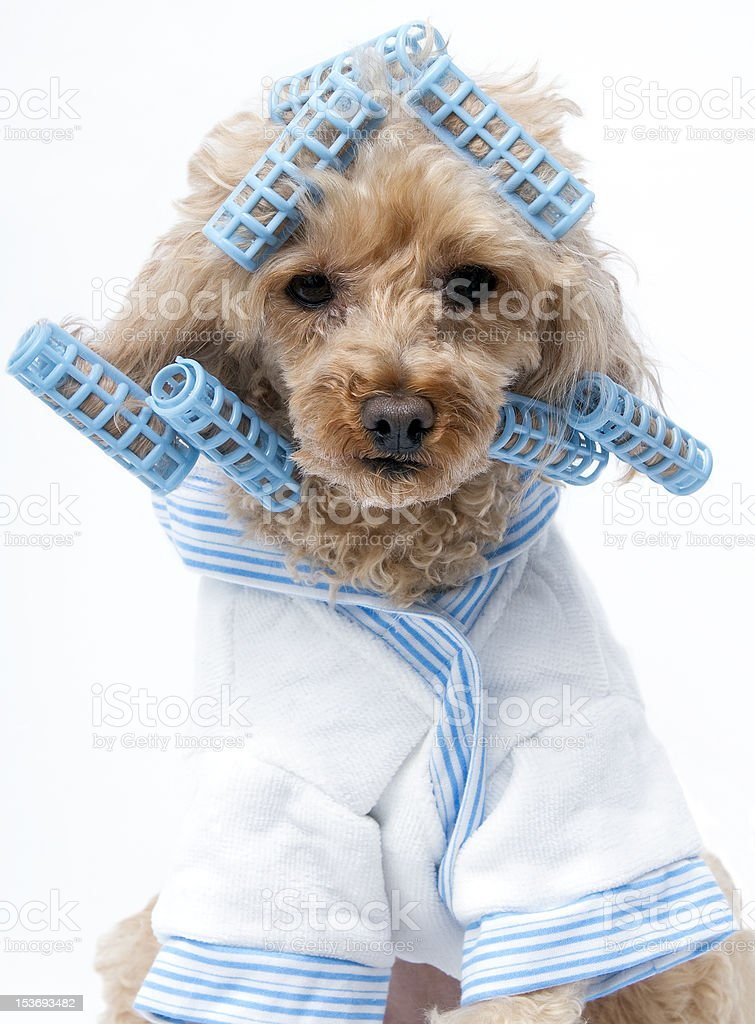 Blue Curlers royalty-free stock photo
