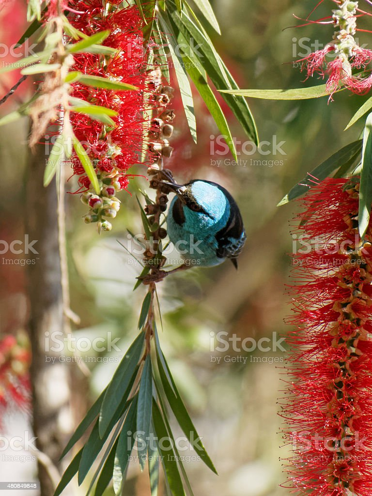Blue Dacnis hanging sideways on a thin branch stock photo