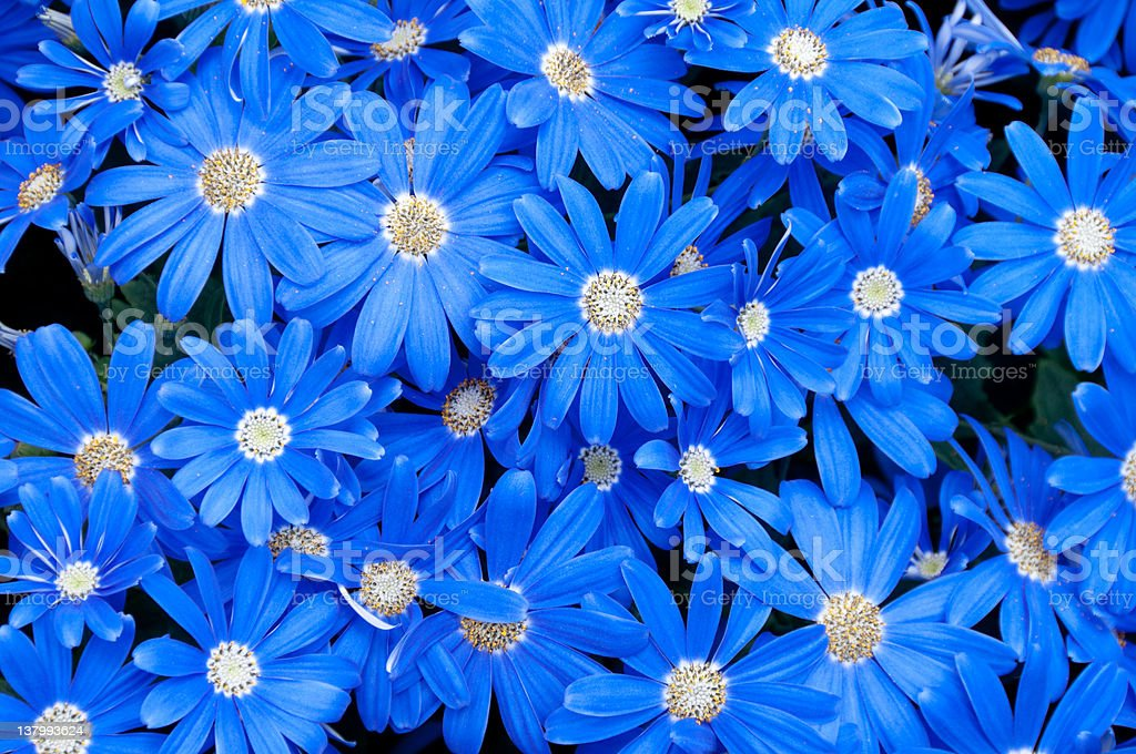 Blue daisy background royalty-free stock photo