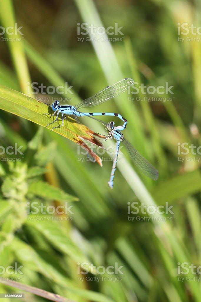 Blue Damselflies mating stock photo
