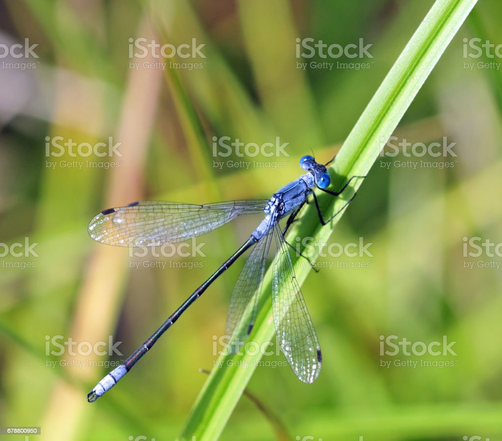 Blue Damselfly in Grass stock photo