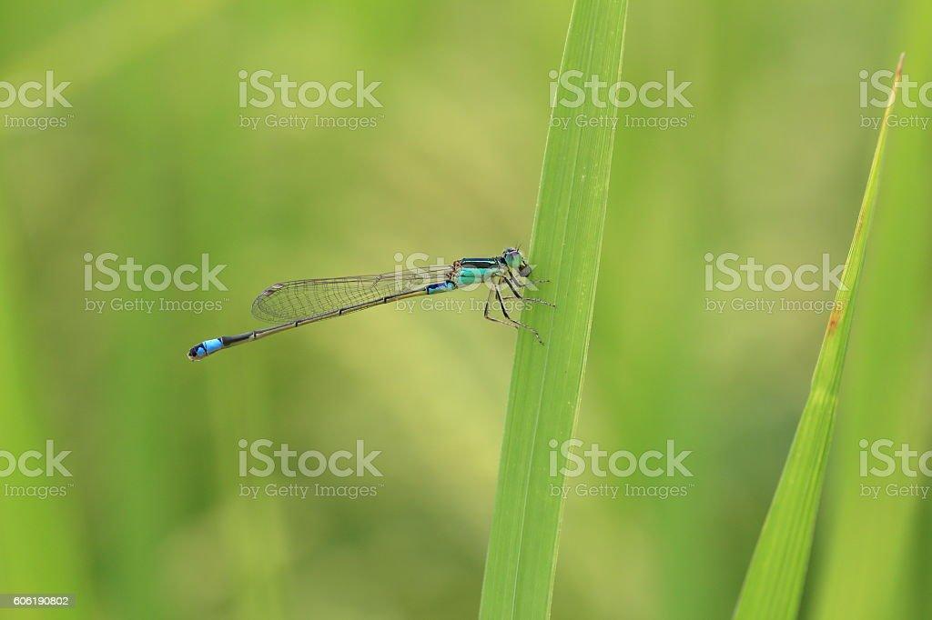 Blue damselfly in rice field in Japan stock photo