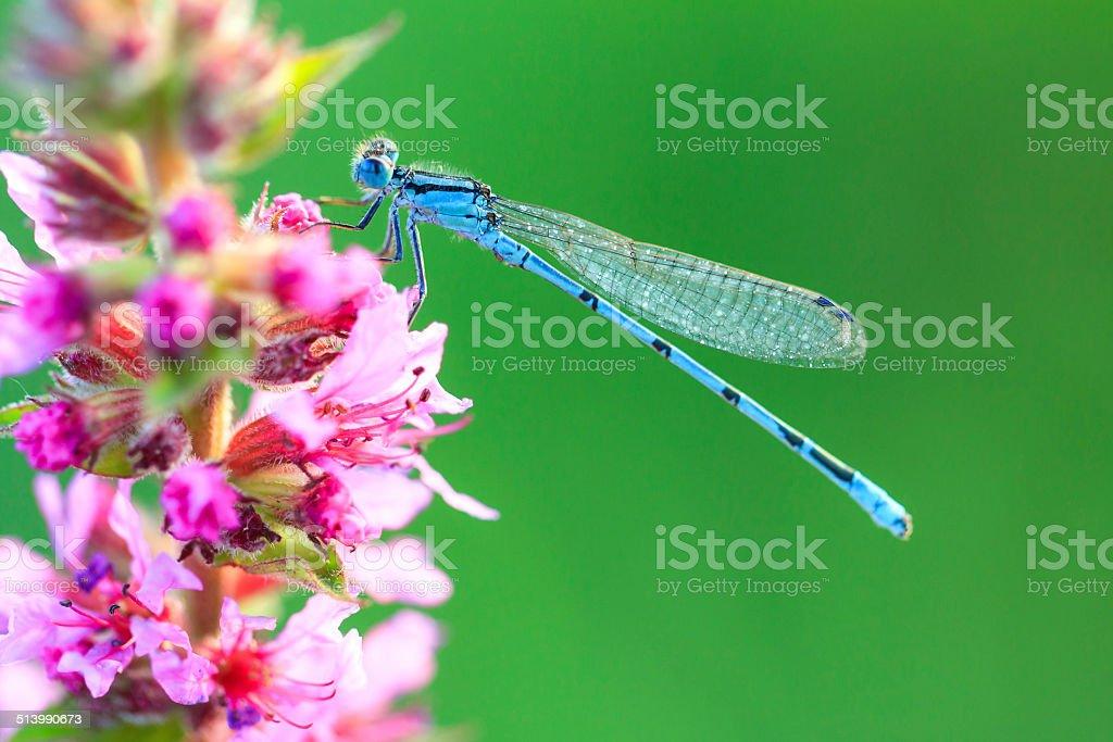 Blue damselfly macro stock photo