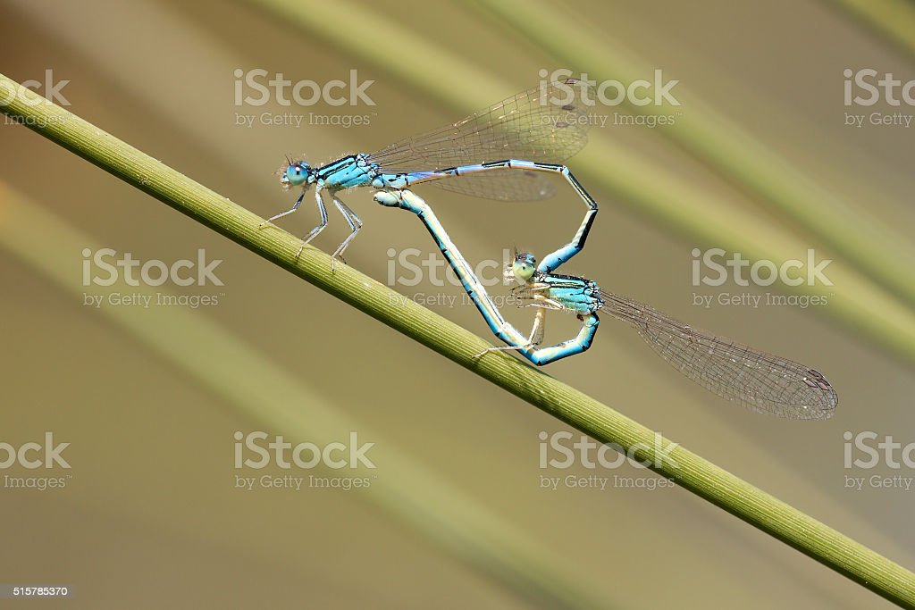 blue damselfly mating act. Heart symbol stock photo