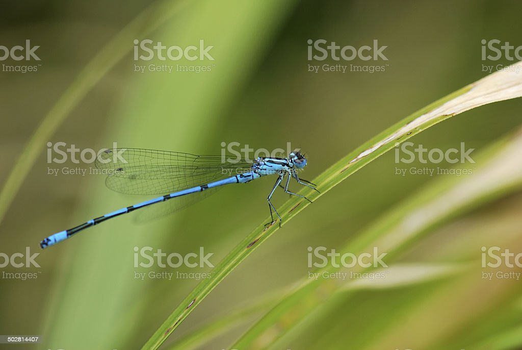 Blue Damselfly on Grass stock photo
