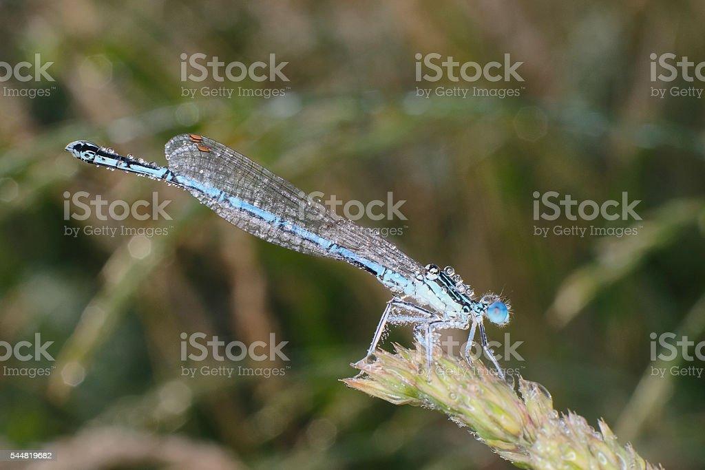 Blue damselfly stock photo