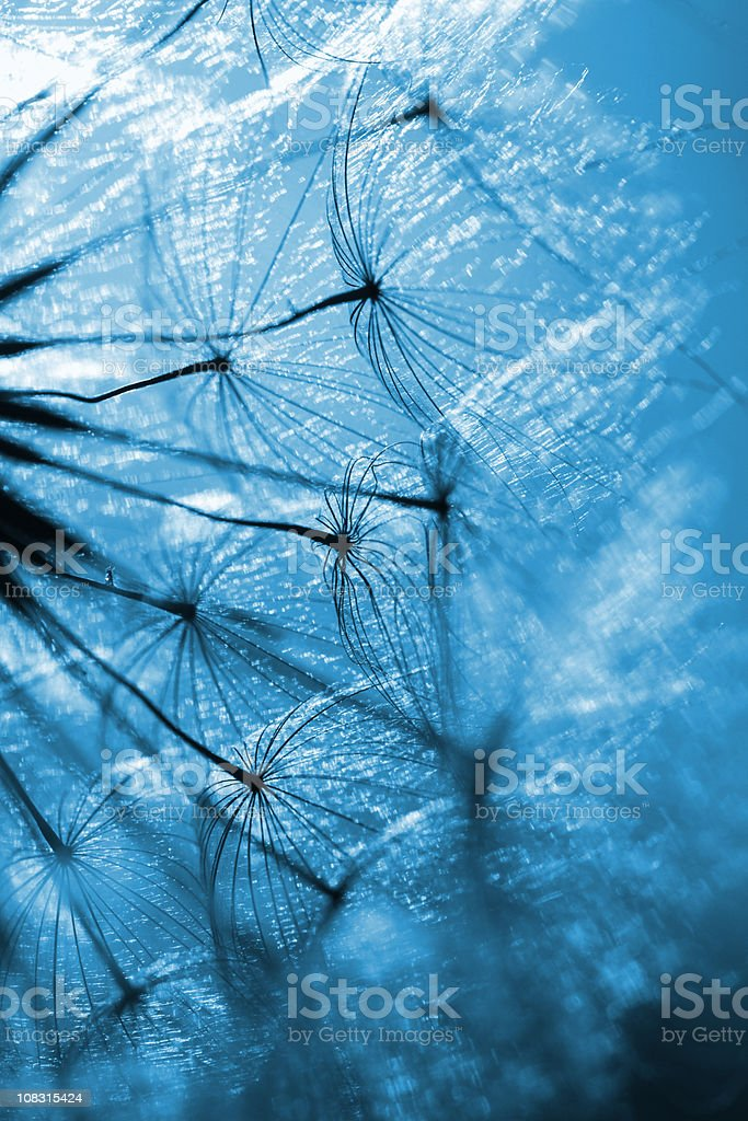Blue dandelion stock photo