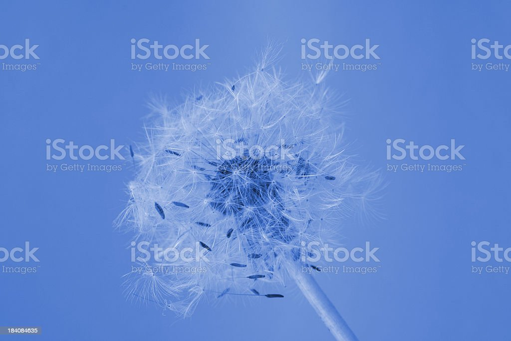 Blue dandelion royalty-free stock photo