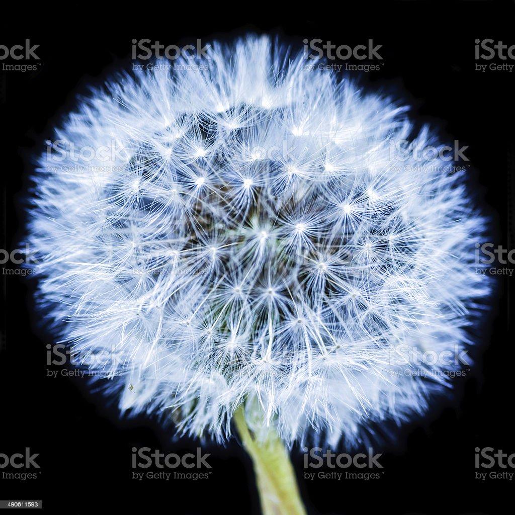 Blue Dandelion stock photo