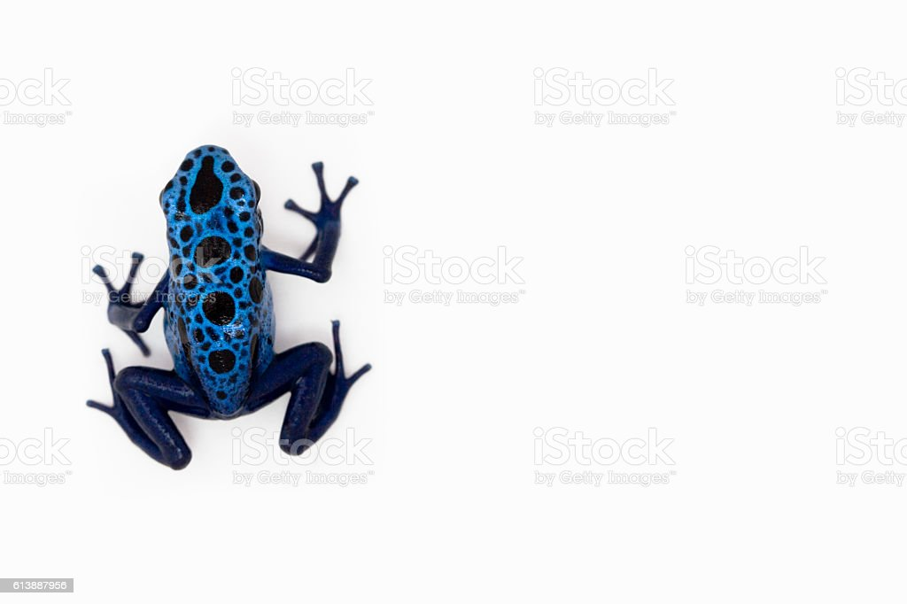 Blue dart frog stock photo