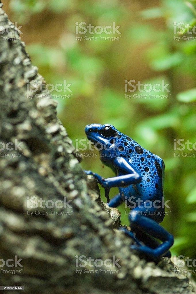 blue dart poison frog stock photo