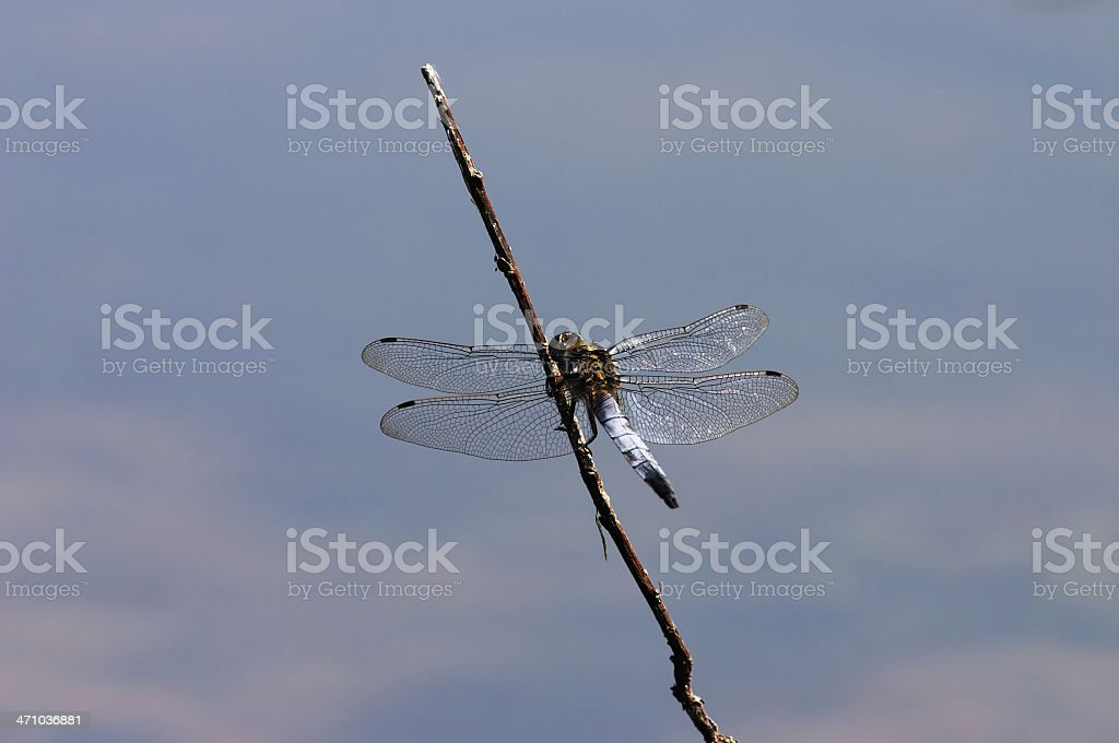 Blue darter dragonfly Orthetrum triangulare at home on a stick stock photo