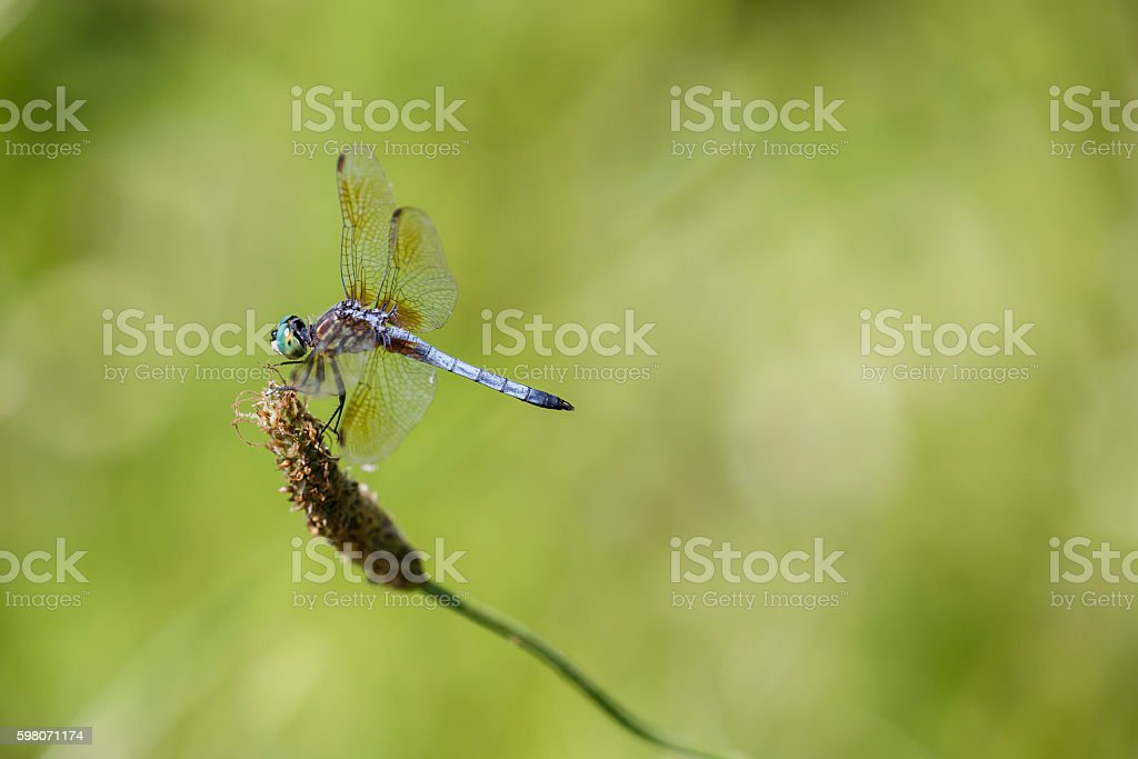 Blue Dasher (Male) Dragonfly Against Muted Green Background stock photo