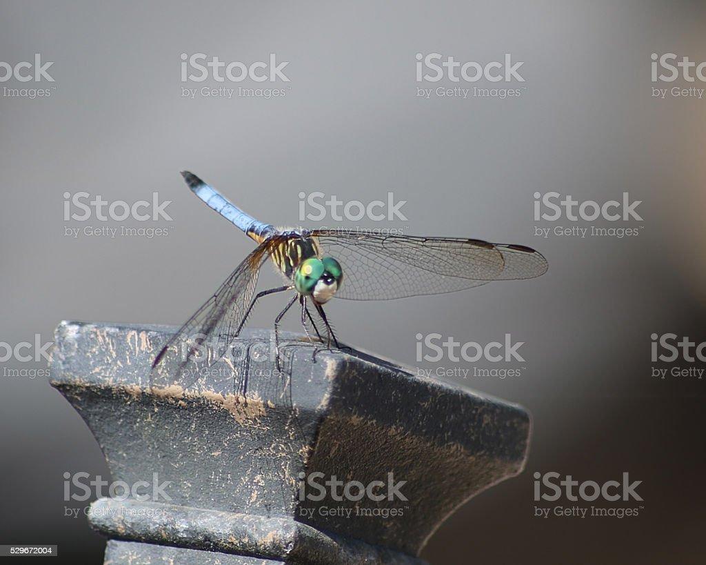 libellule de Dasher yeux verts bleu photo libre de droits