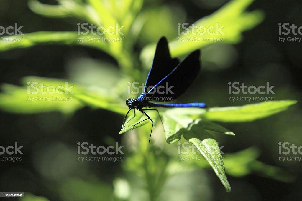 blue dasher stock photo
