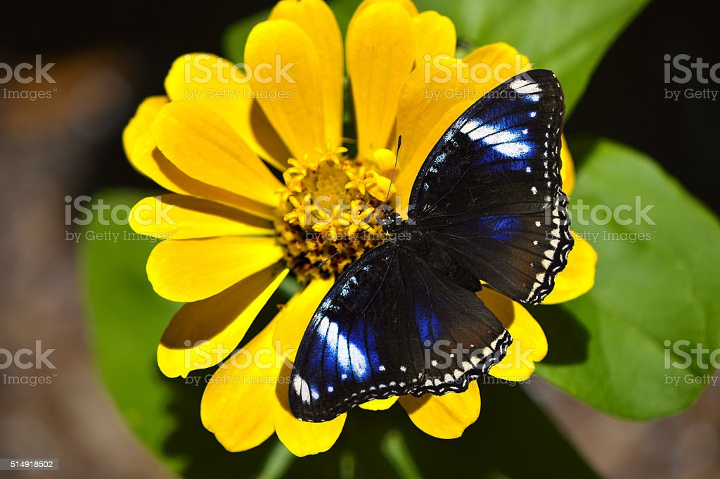 Blue Diadem Butterfly Latin name Hypolimnas salmacis stock photo