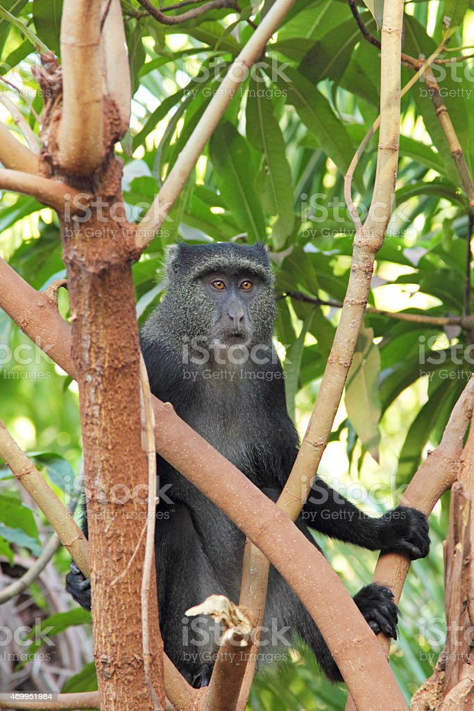 Blue diademed monkey between branches stock photo