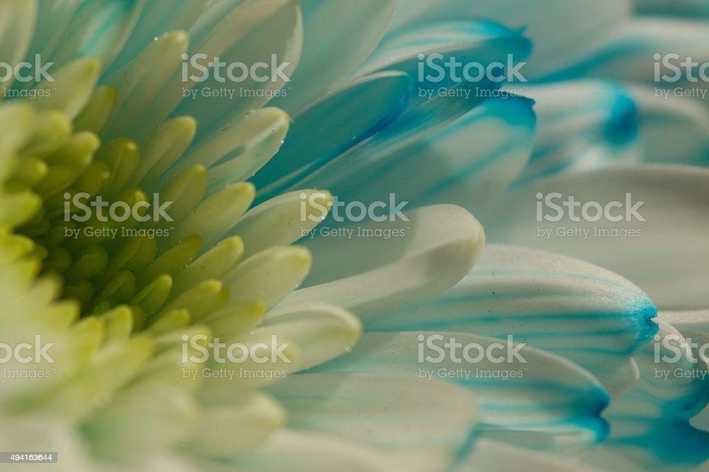 Blue Died Chrysanthemum stock photo