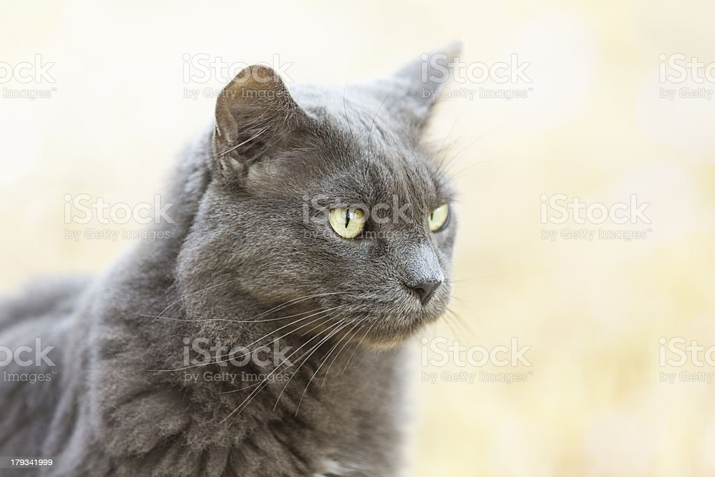 Blue Domestic Longhair Cat stock photo