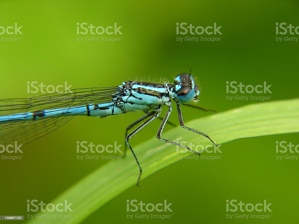 Blue dragon fly royalty-free stock photo