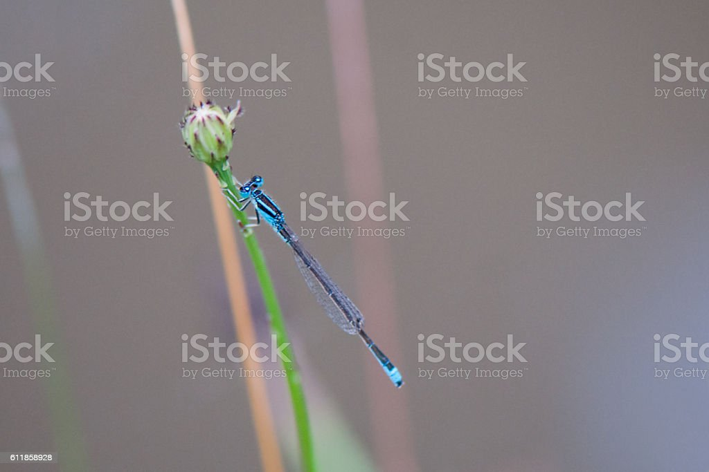 Blue dragonfly - Coenagrion stock photo