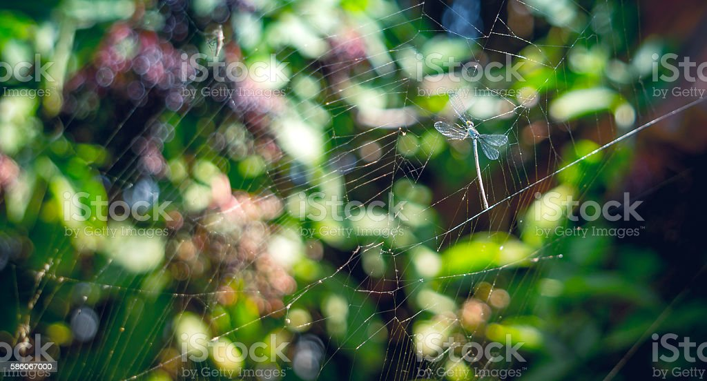 Blue dragonfly entangled in the web stock photo