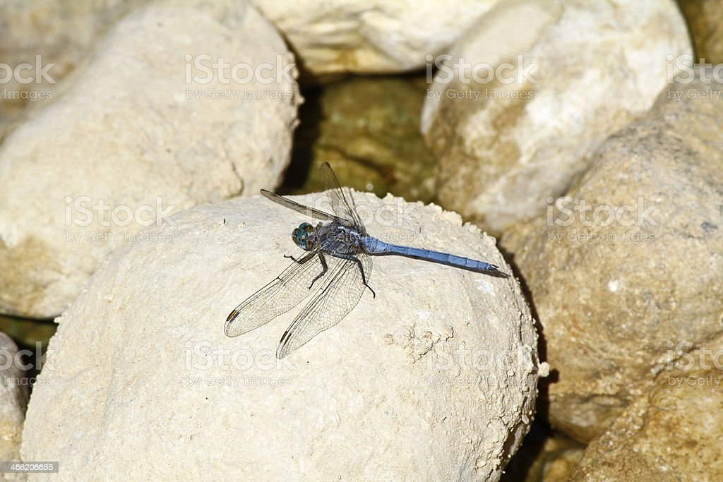 Blue Dragonfly in Oman stock photo