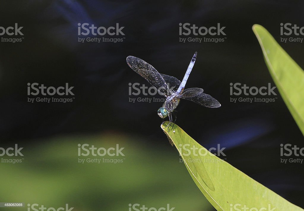 Blue Dragonfly in Water Garden royalty-free stock photo