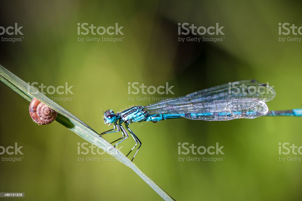 Blue Dragonfly insect perched on herb with small snail stock photo