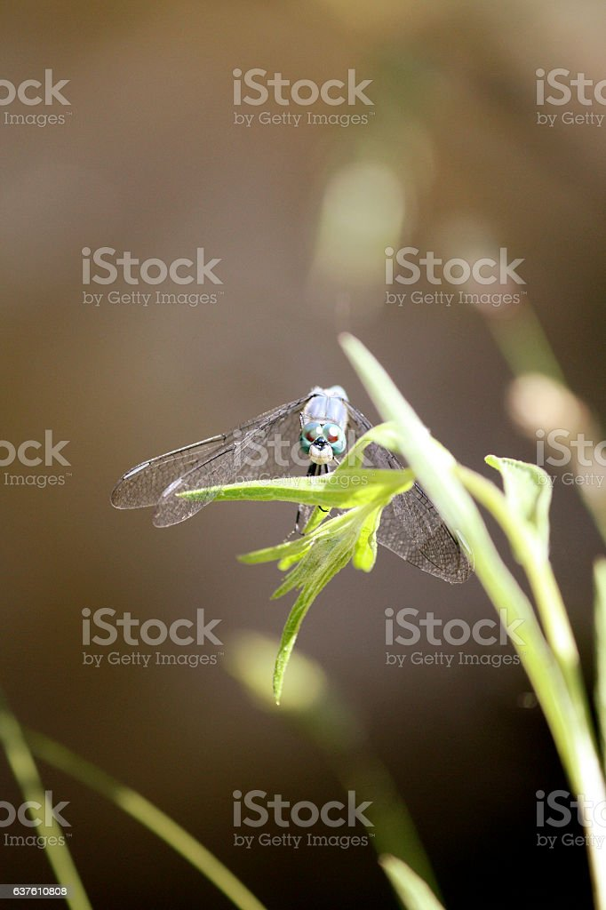 Blue dragonfly on a blade of grass stock photo