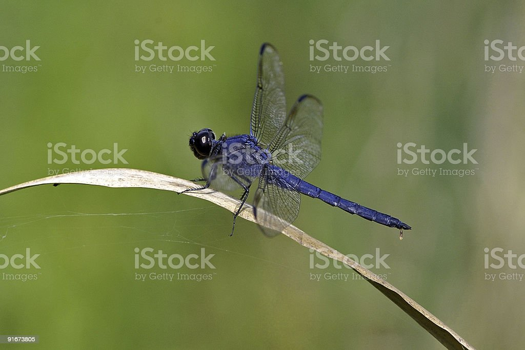 blue dragonfly on a dry leaf royalty-free stock photo