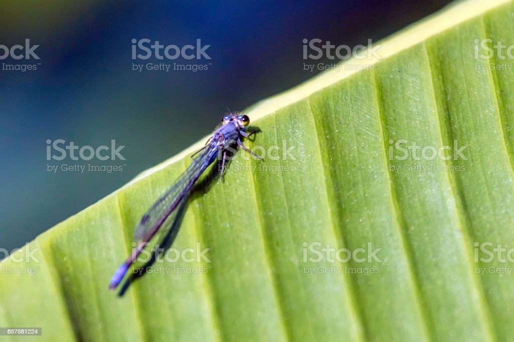 Blue Dragonfly on a green leaf stock photo