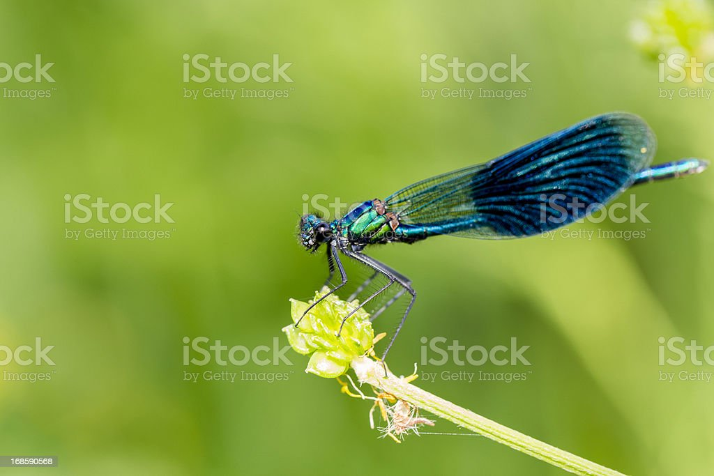 Blue Dragonfly on Blade of Grass royalty-free stock photo