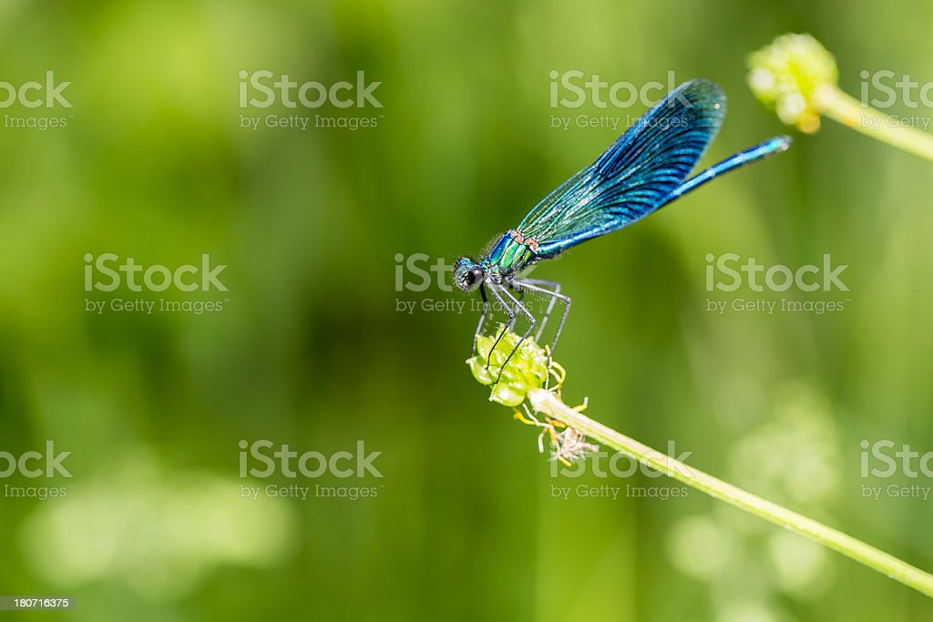 Blue Dragonfly on Blade of Grass stock photo