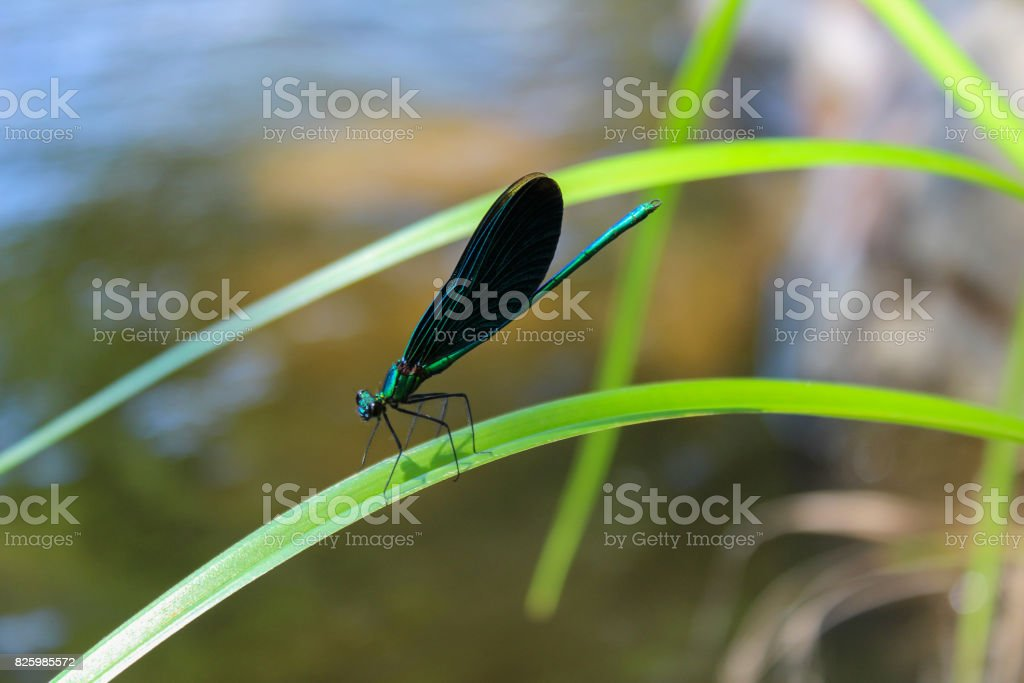 Blue dragonfly on green leaf with water in background stock photo