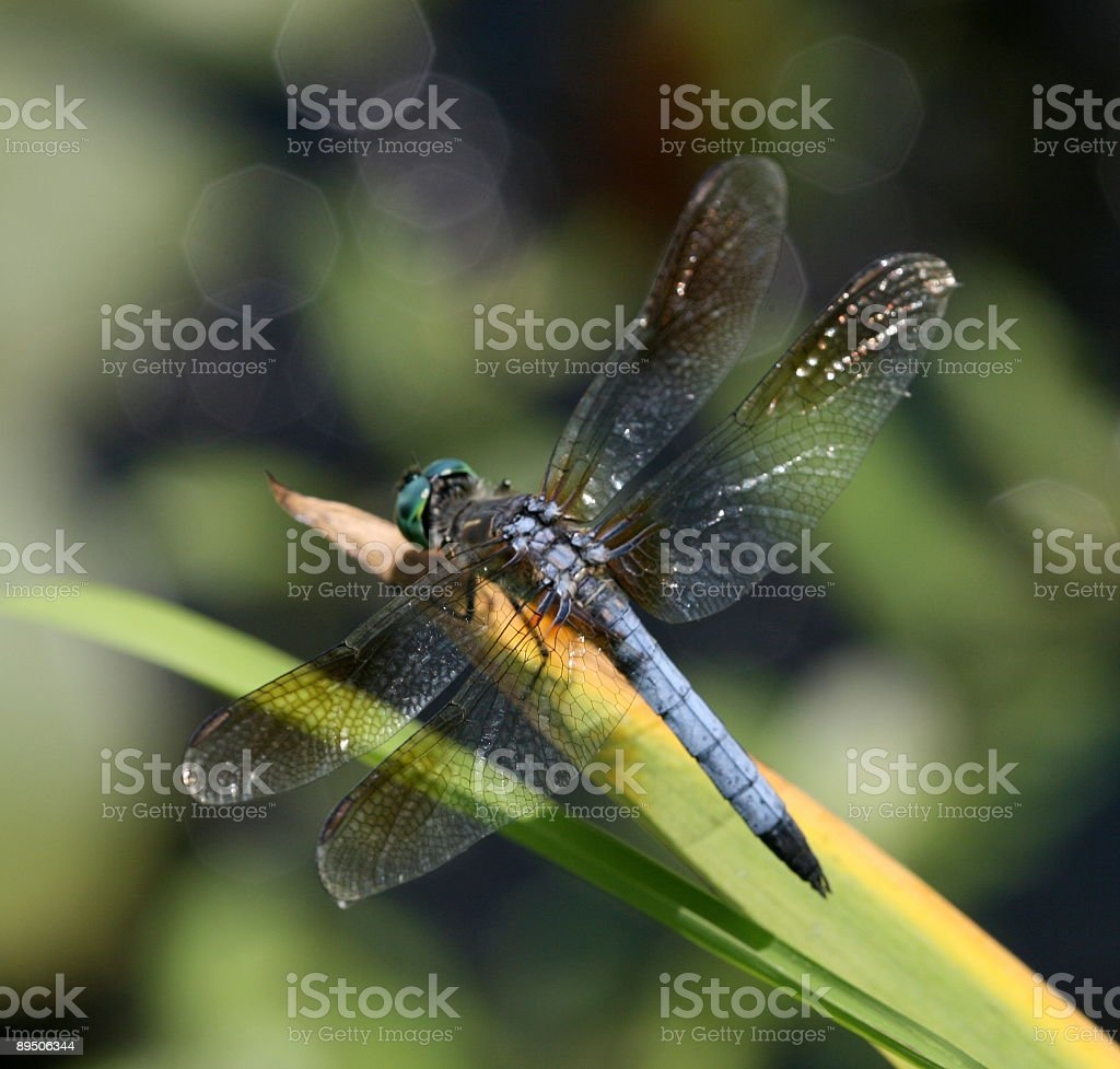 Blue Dragonfly On Leaf Frond Macro Close Up Isolated royalty-free stock photo