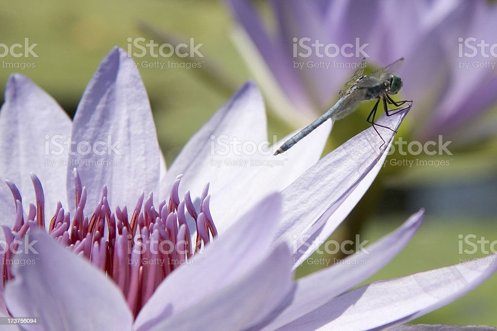 Blue dragonfly on lily royalty-free stock photo