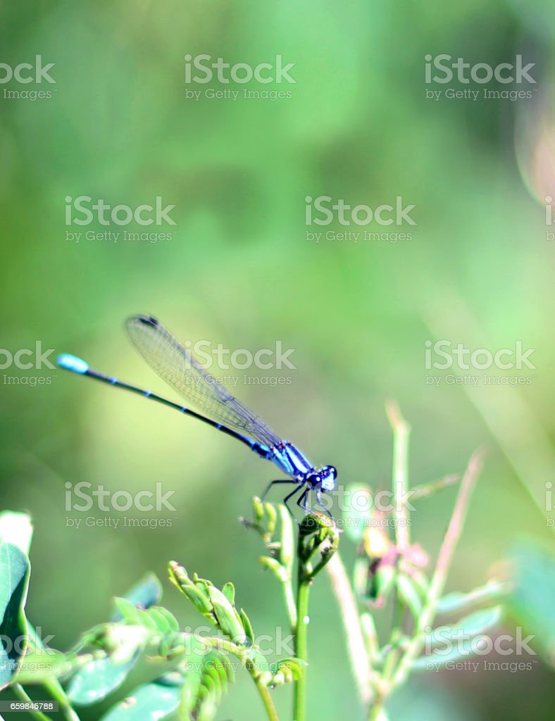 Libélula azul stock photo