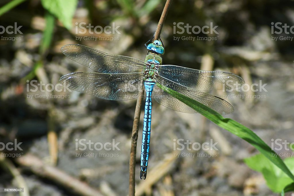 Blue dragonfly sitting on a twig. stock photo
